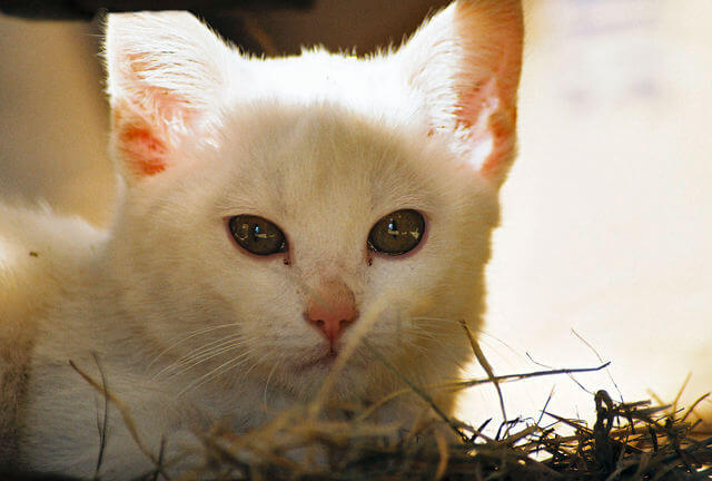 What do White Cats in Dreams Mean?